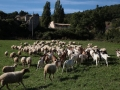 gregge-di-pecore-in-valnerina.jpg