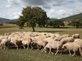 gregge-pecore-italia.jpg