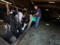 mucche-umbria.jpg