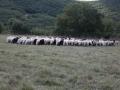 pecore-al-pascolo-in-umbria.jpg