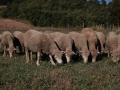 pecore-mangiano-erba-umbria.jpg