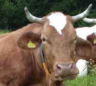 mucca-pezzata