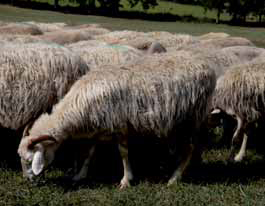 pecora-Sarda